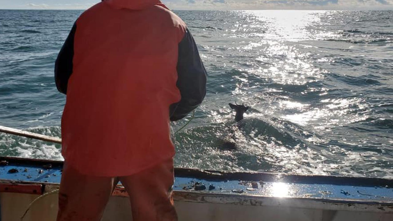 Deer Drifting in Ocean Off Maine Coast Rescued by Lobstermen