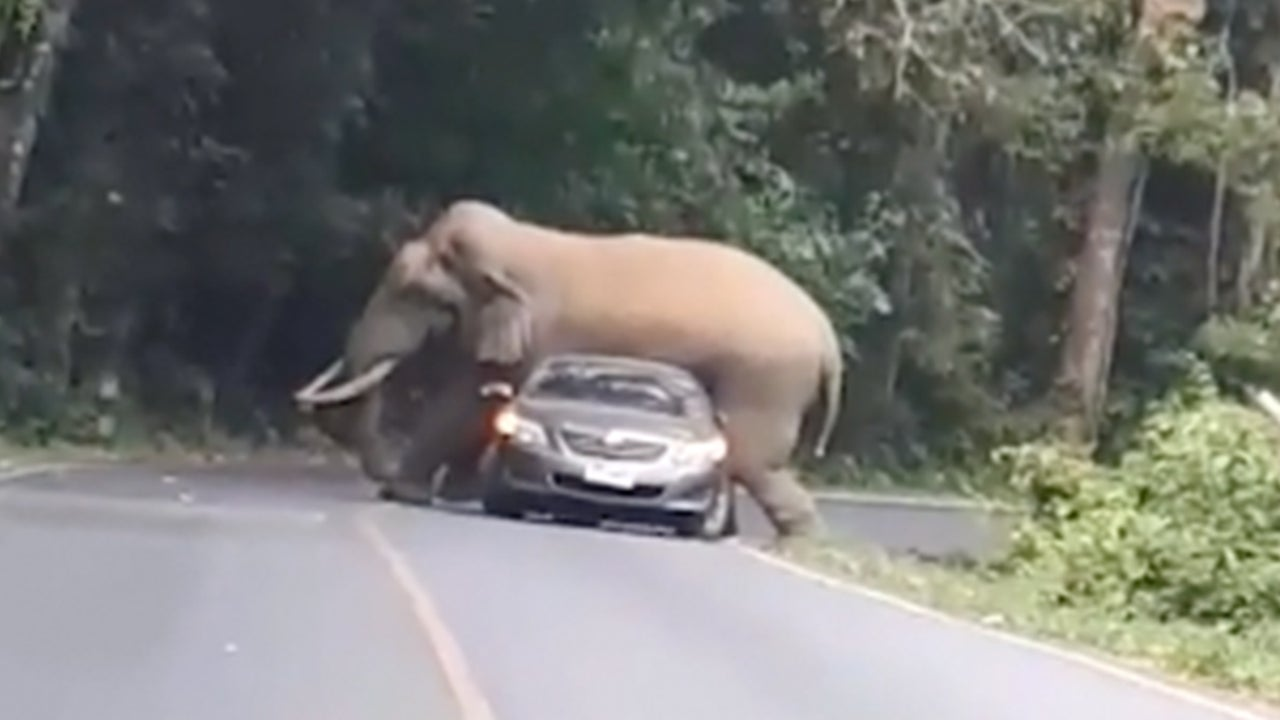 Elephant Tries to Sit on Car at Thailand's Khao Yai National Park