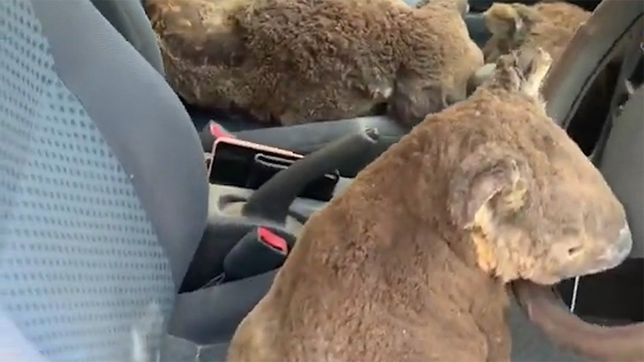 Family Loads Car with Koalas in Makeshift Rescue Attempt From Australia Fires