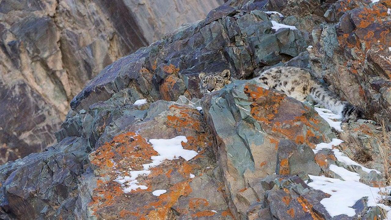 Schneeleoparden sind selten und extrem scheu. Doch dem Fotografen David Jenkins gelang es, sie im Himalaya-Gebirge zu fotografieren. Allerdings wissen die Meister der Tarnung sich gut zu verstecken. Finden Sie die Schneeleoparden auf den Bildern?