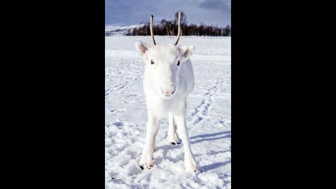 Photographer Mads Nordsveen was hiking in Norway when he was lucky enough to spot a rare white reindeer calf. (Mads Nordsveen/Caters News)