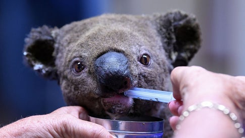 A dehydrated and injured Koala receives treatment at the Port Macquarie Koala Hospital in Port Macquarie on Nov. 2, 2019, after its rescue from a bushfire that has ravaged an area of over 4,900 acres. Hundreds of koalas are feared to have burned to death in an out-of-control bushfire on Australia's east coast, wildlife authorities said October 30. (Saeed Khan/AFP via Getty Images)