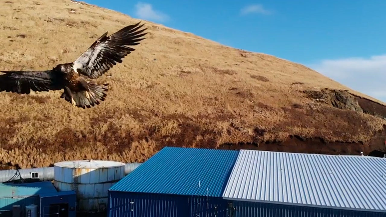 Watch Eagle Take Out Drone in Alaska