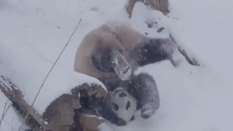Pandas Roll in Snow at National Zoo During Winter Storm Petra