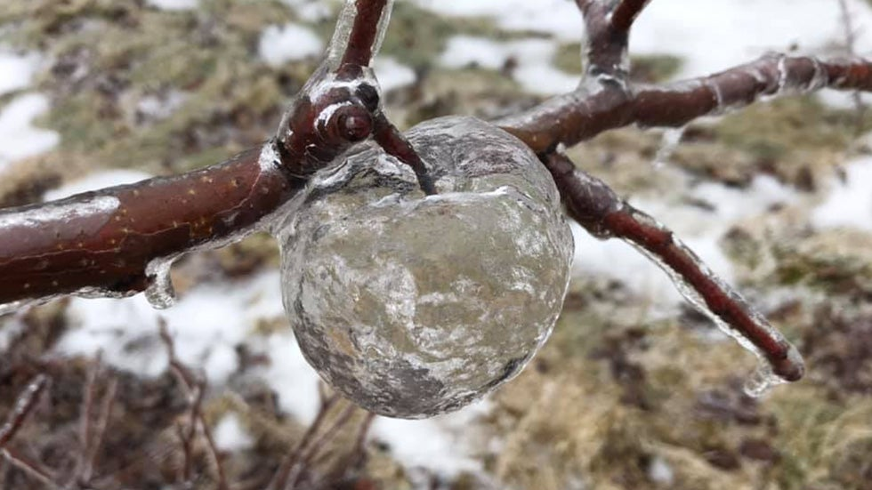Freak 'Ghost Apples' Appear in Michigan Orchard