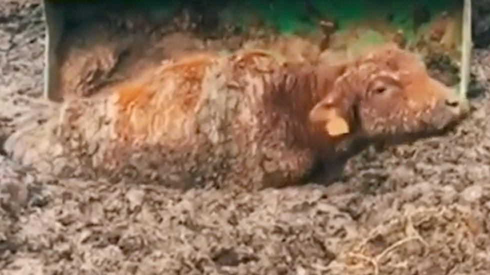 Nebraska Rancher Employs Ingenious Tactic to Rescue Stuck Cattle