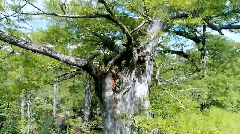 Tree Older Than Christianity Discovered in North Carolina