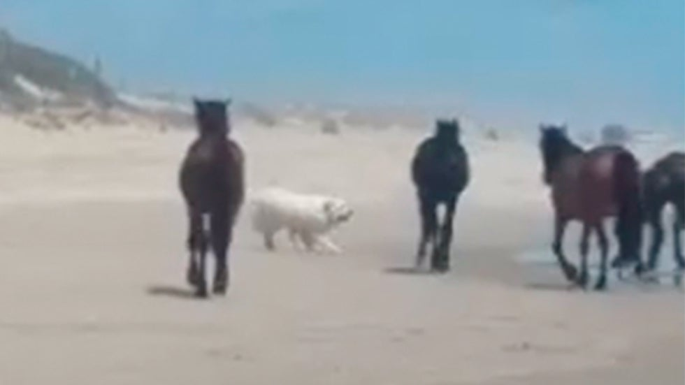 Tourists' Dogs Harassing Wild Horses on North Carolina's Outer Banks