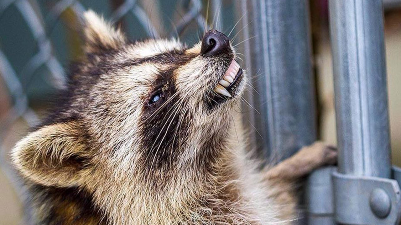 'Zombie' Raccoons Spotted in Chicago, Threaten Pets