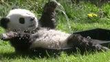 Panda Cub Splashes Around at the Berlin Zoo