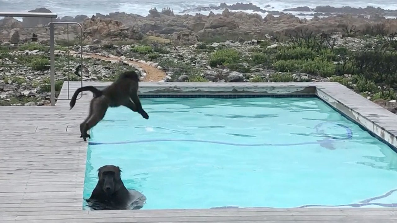 Pool in South Africa Becomes Baboons' Water Park