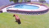Camera Captures Bears Cooling off in Backyard Pool in California