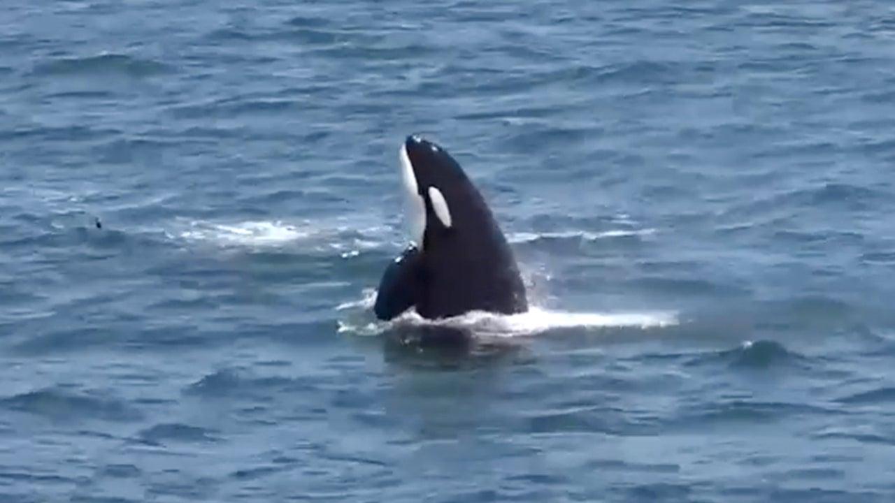 Very Rare Orca Pod Sighting in Monterey Bay