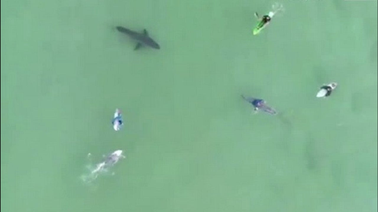 Drone Video Shows Terrifying Close Encounter with Great White