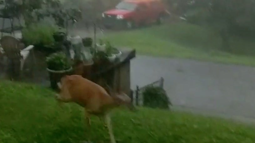 Watch Deer Flee West Virginia Tornado