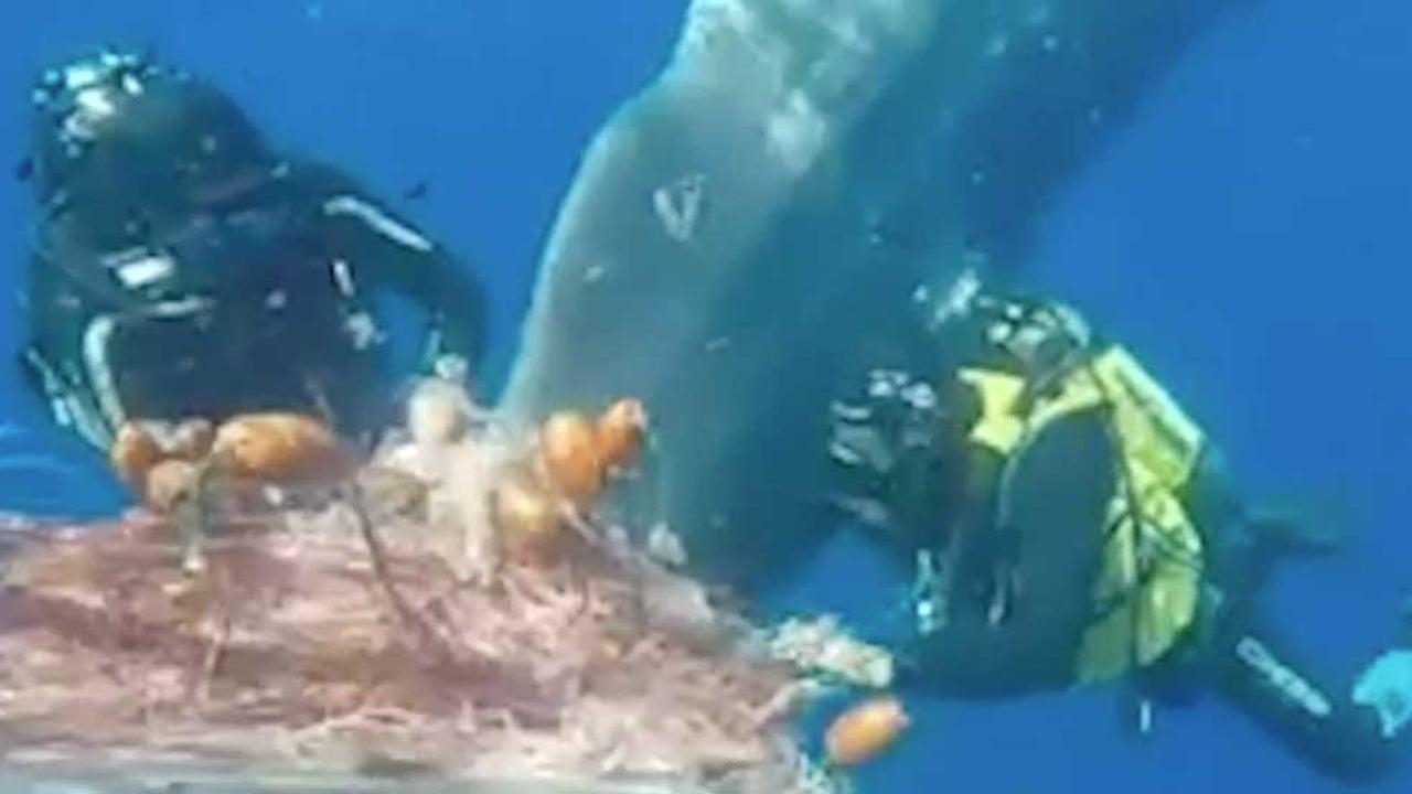 Italian Coast Guard Frees Sperm Whale from Net