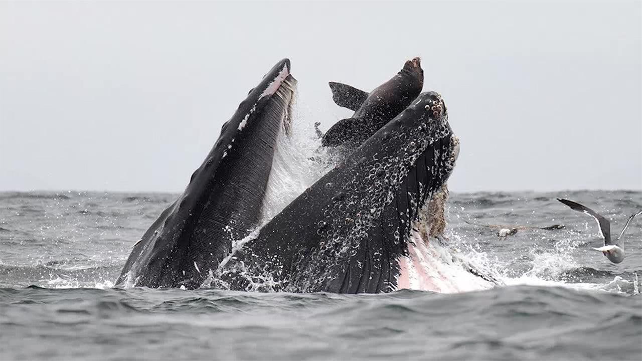 Sea Lion Falls in Humpback Whale's Mouth Off California Coast