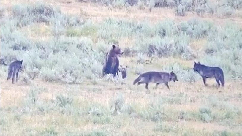 Mama Bear Stands Up to Wolves Threatening Cubs