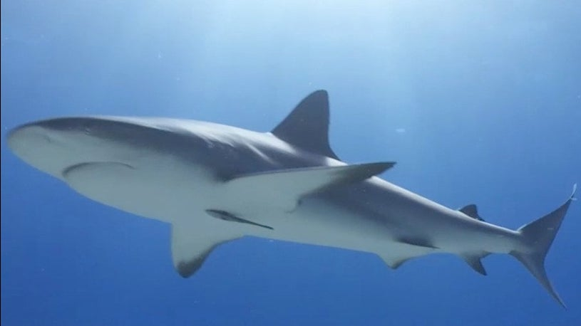 Non-Profit: Hundreds of Thousands of Sharks Could be Killed for COVID-19 Vaccine