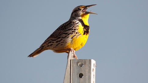Three Billion Birds Have Disappeared From North American Skies, Study Says