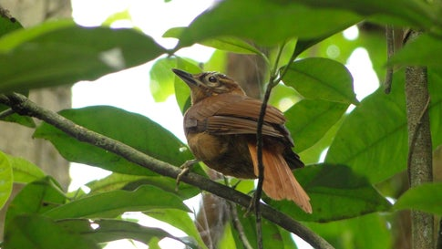 The Alagoas foliage-gleaner was declared extinct in 2018. The species was endemic to Brazil. (Carlos Gussoni)