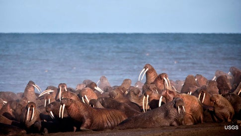 Walruses Have Come Ashore Earlier Than Usual on an Alaskan Barrier Island. It's Likely Because of Record-Low Sea Ice.