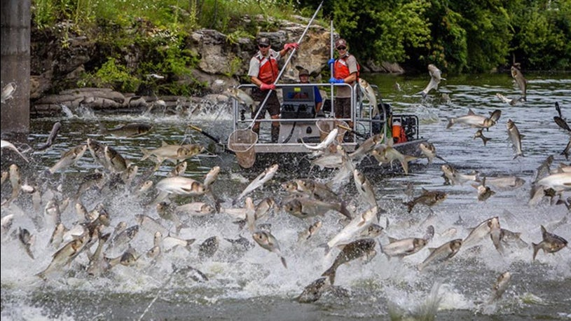 Chicago's Pollution May Block Carp Invasion, Study Says