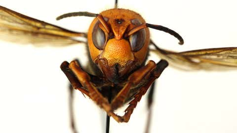 """The Asian giant hornet, the world's largest species of hornet, was found late last year in northwest Washington state. The aggressive insect has been nicknamed the """"murder hornet."""" (Washington State Department of Agriculture)"""