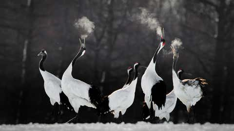 """""""Red-crowned crane pairs are faithful to one another throughout the year, and even during the winter months they engage in behavior designed to strengthen the bond. Birds perform dual honking rituals and an elaborate dance, and this is much appreciated by photographers who make the pilgrimage to see them in Japan,"""" photographer Li Ying Lou said of the experience shooting this photo. """"In order to capture the mood and convey a sense of the occasion to those looking at this photograph, I rushed to the photographic site at dawn. On my eighth attempt, I finally did photographic justice to the calling birds, with their breath vaporized by the cold air."""" (©Li Ying Lou/Bird Photographer of the Year)"""