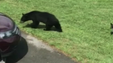 Man Gets Too Close to Bears, Learns Lesson