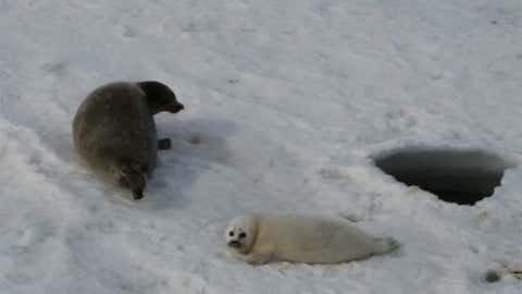 The Caspian seal is one of the endangered, native species that will be severely affected by the emergence of the northern Caspian shelf and reduction of winter sea ice due to rising temperatures. Today, at least 99% of the pupping grounds are located there. (Susan Wilson/Prange, M., Wilke, T. & Wesselingh, F.P. The other side of sea level change. Commun Earth Environ 1)