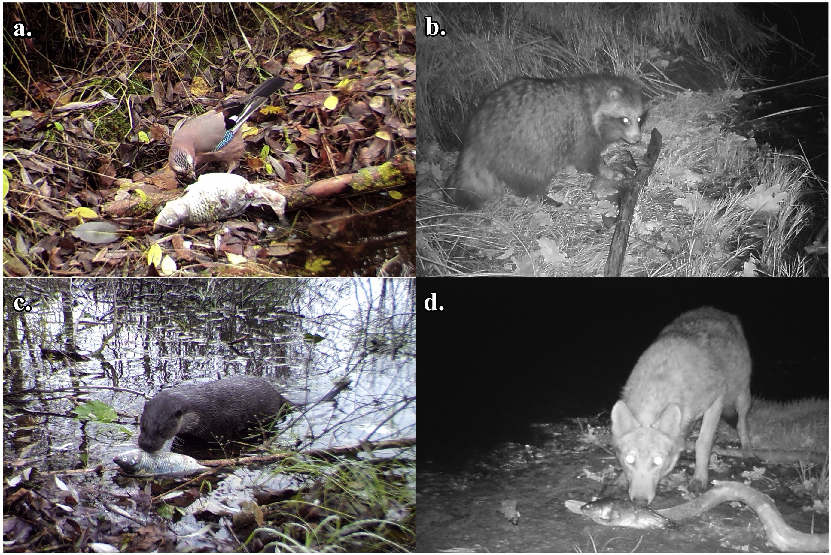 Ten mammalian and fiveavian specieswere documented scavenging fish carcasses in the Chernobyl Exclusion Zone including Eurasian jays (a), raccoon dogs (b),Eurasianotters(c), and wolves(d). (Univerisity of Georgia)