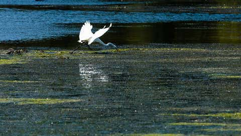 A great egret hunts along underwater grass beds where Accokeek Creek reaches the Potomac River at Piscataway Park in Prince George's County on Sept. 20, 2017. (Photo by Will Parson/Chesapeake Bay Program)