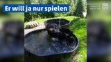 Riesiger Schwarzbär verschafft sich eine Abkühlung