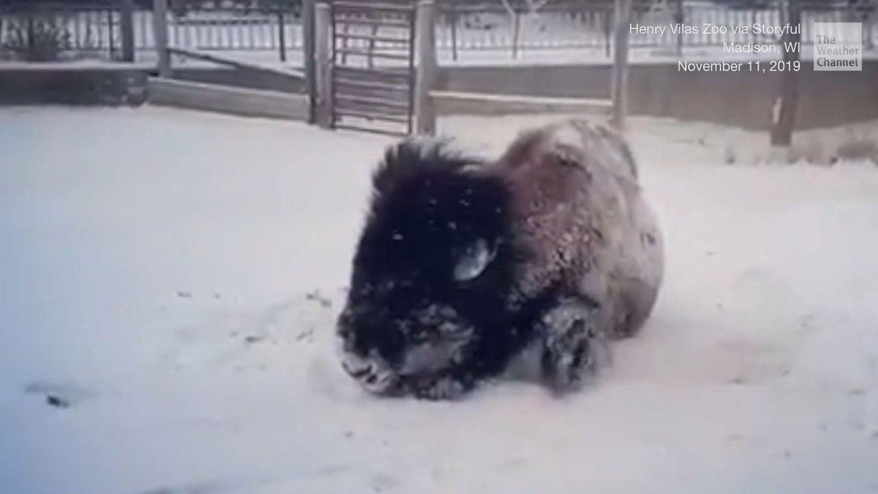 """Bison """"Beefcake"""" aus Wisconsin liebt den Winter und besonders gerne wälzt er sich im Schnee."""
