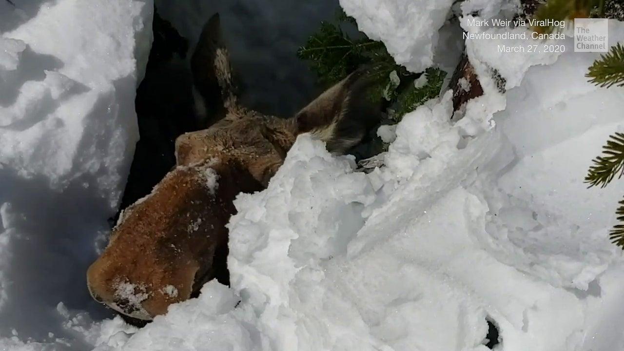 In Neufundland, Kanada, ist ein Elch in eine Fichtenfalle geraten. Schneemobilfahrer entdeckten das hilflose Tier und befreiten es mit einem genialen Trick.