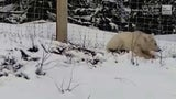 Seltener Grizzly in Kanada gesichtet - es ist kein Albino