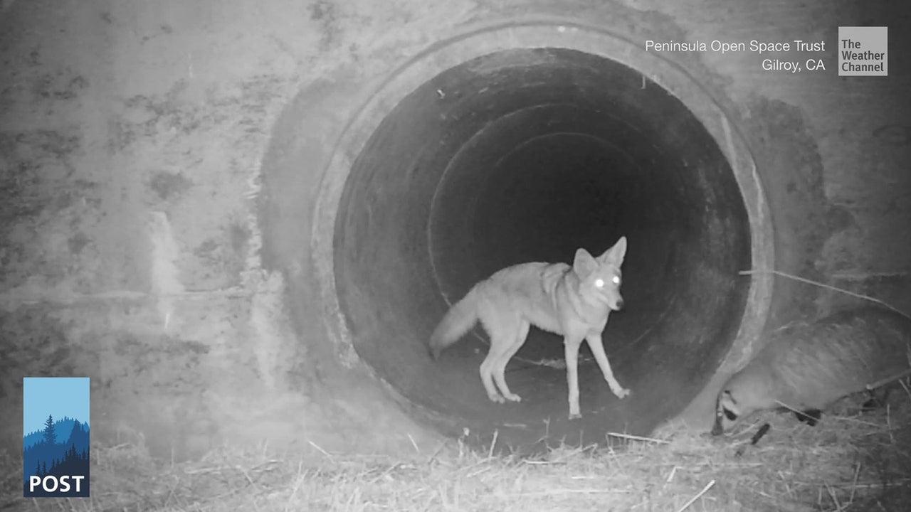Ein Kojote und ein Dachs gehen auf Entdeckungstour - das hört sich an, wie aus einem Märchenfilm. Doch in Kalifornien hat eine Überwachungskamera ein Duo dabei gefilmt, wie es zusammen in einem Kanal verschwindet.