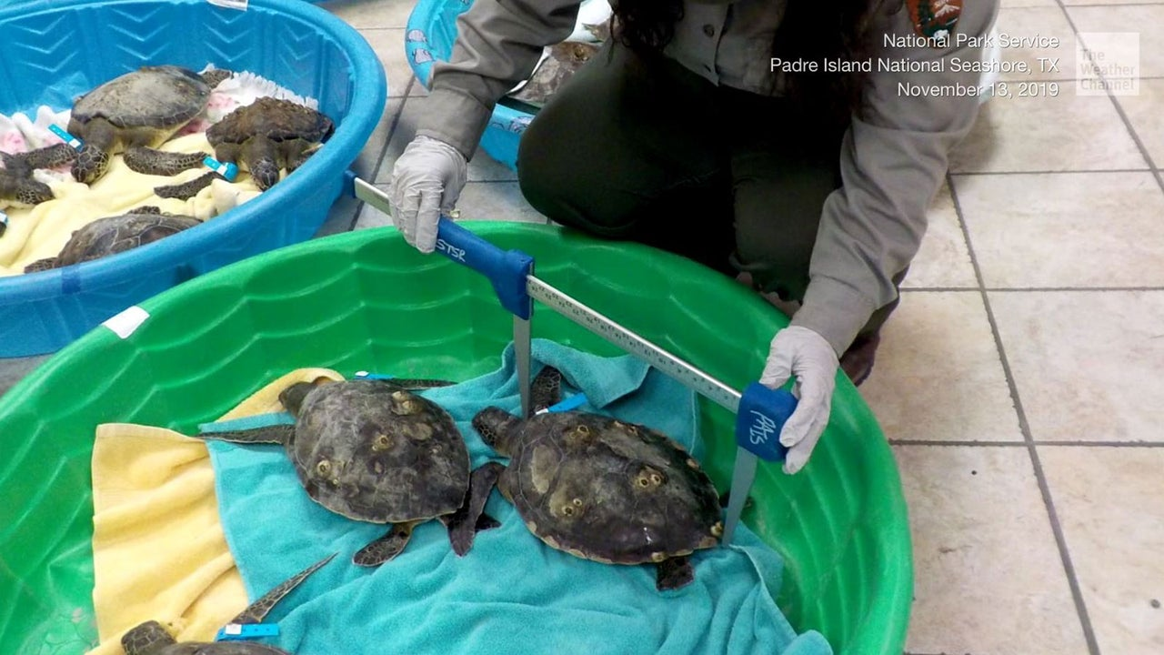 In Texas wurden jetzt über 200 Schildkröten gerettet. Beinahe wären sie erfroren.