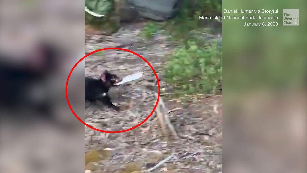 Nachdem er eine ganze Tafel Schokolade geklaut hat, nimmt dieser Tasmanische Teufel reißaus. Doch mit einer richtigen Verfolgungsjagd, hatte er wohl nicht gerechnet.