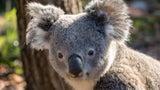 Studie: Koalas könnten in einem Teil Australiens bis 2050 ausgestorben sein