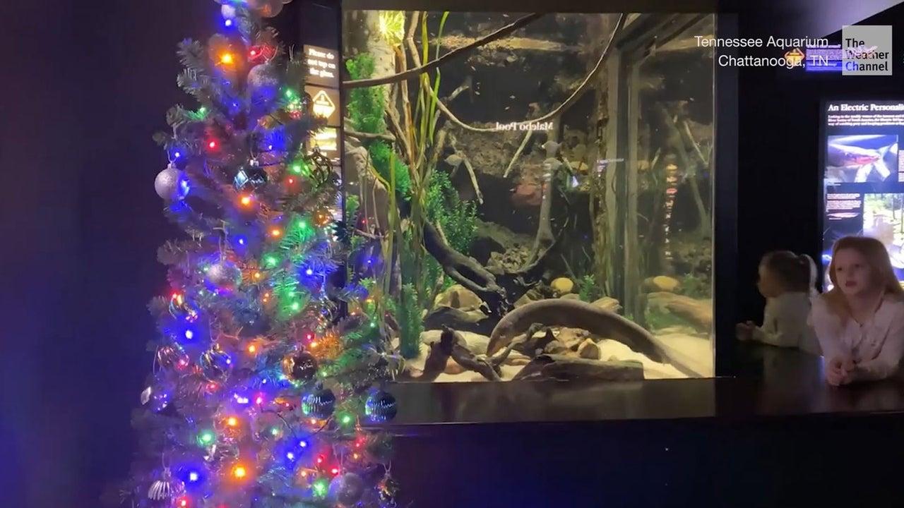 Er ist das Highlight im Tennessee Aquarium: was Zitteraal Miguel Wattson mit einem Weihnachtsbaum anstellen kann, ist einfach nur verblüffend.