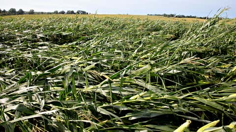 Corn plants, blown over by an intense derecho storm, lay in a field on Monday, August 10, 2020, near Polo, Illinois. (Photo by Daniel Acker/Getty Images)