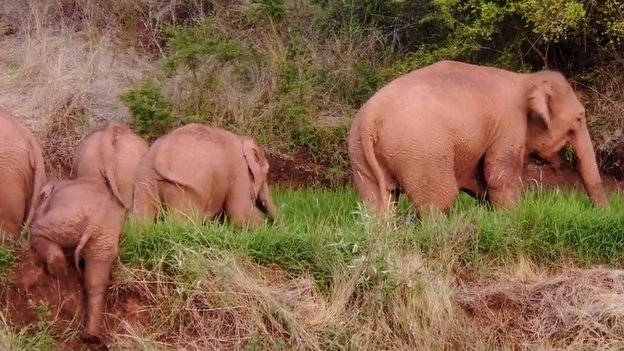China's Wandering Elephants Headed Home?