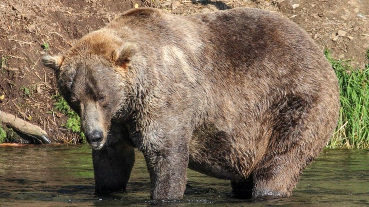 Katmai National Park Fat Bear Week 2021 Winner Announced