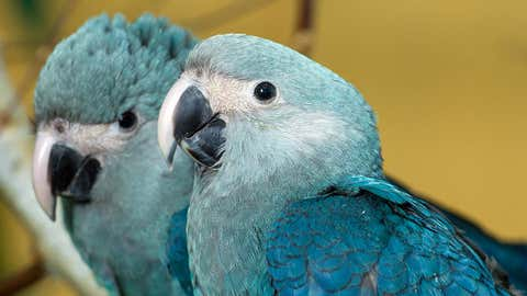 """The Spix's macaw, made famous by the movie """"Rio,"""" were declared extinct in the wild 2018. Around 100 birds still exist in captivity. (Patrick Pleul/picture alliance via Getty Images)"""