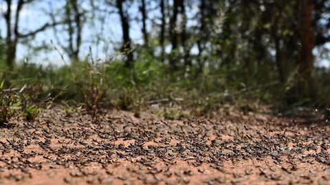 A picture taken on February 25, 2020 near Isiolo town in Isiolo county, eastern Kenya, shows locust nymphs aggregated on the ground at a hatch site. - Millions of locust nymphs have emerged from eggs left behind by swarms that invaded the region last month and the situation remains extremely alarming in the Horn of Africa, according to the UNs Food and Agriculture Organization (FAO) specifically Kenya, Ethiopia and Somalia where widespread breeding last month is now giving rise to new swarms. (Photo by TONY KARUMBA/AFP via Getty Images)