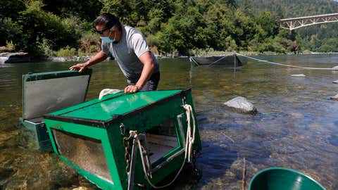 Gilbert Myers, a fisheries technician with the Yurok Fisheries Department, checks fish traps on the Klamath River on June 9, 2021, in Weitchpec, Calif. The Yurok Tribal Fisheries Department has been monitoring a drought-caused fishkill of juvenile salmon brought on by an outbreak of Ceratonova shasta (C. Shasta) along the Klamath River. Due to the extreme drought, water flows on the Klamath River have dropped considerably since the beginning of the year causing the river to flow slower and the water temperature to rise, an environment that C. Shasta thrives in. Yurok Tribal officials expect C. Shasta to kill off nearly all of the juvenile Chinook salmon in the Klamath River which will not only negatively impact fish production, but also the Yurok Tribe, California's largest federally recognized tribe, whose culture, ceremonies and traditions are linked to the annual fish runs. (Justin Sullivan/Getty Images)