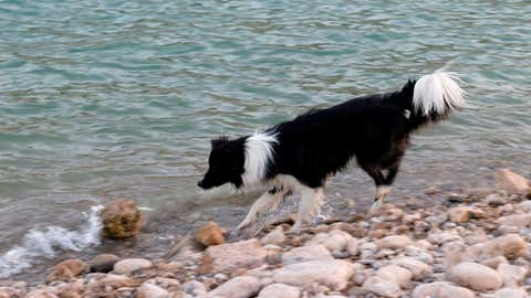 """LAKE MEAD NATIONAL RECREATION AREA, NEVADA - JUNE 21:  A dog named Lil' Bit plays in an area once underwater at Echo Bay on June 21, 2021 in the Lake Mead National Recreation Area, Nevada. The U.S. Bureau of Reclamation reported that Lake Mead, North America's largest artificial reservoir, dropped to just over 1,070 feet above sea level over the weekend, the lowest it's been since being filled in 1937 after the construction of the Hoover Dam. As a result of low lake levels, the National Park Service has had to close some boat launch ramps and use pipe mats to extend others temporarily. The declining water levels are a result of a nearly continuous drought for the past two decades coupled with increased water demands in the Southwestern United States. The drought has left a white """"bathtub ring"""" of mineral deposits left by higher water levels on the rocks around the lake.  (Photo by Ethan Miller/Getty Images)"""