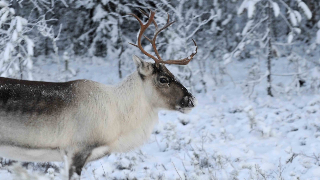 Reindeer are taking a hit from climate change and warming temperatures.